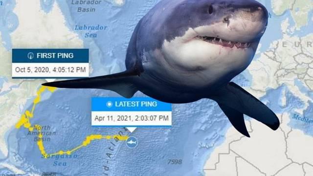 Velika bijela psina pliva prema Britaniji, to je tek druga ikad koja je uspjela prijeći Atlantik