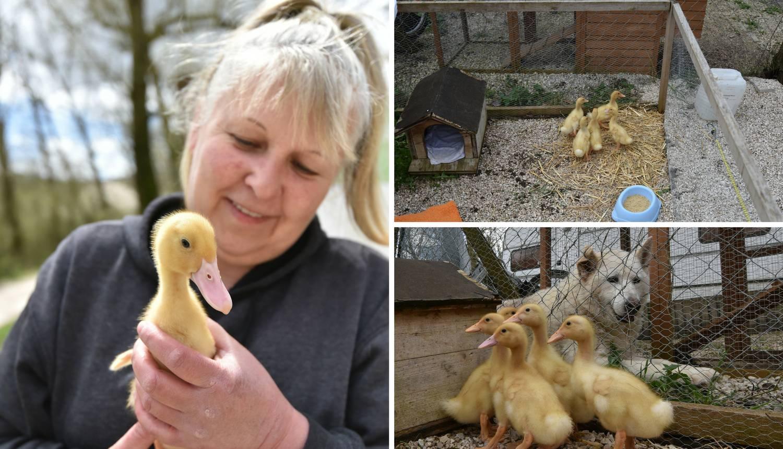 Kupila patke i spasila ih od lonca, a čuvaju ih psi iz azila