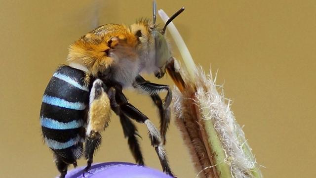 Samo u Australiji: Jeste li ikad čuli za fenomen plavih pčela?