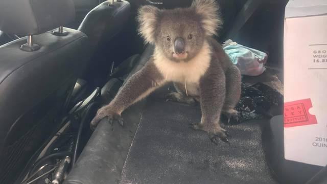 U autu ostavio upaljenu klimu, a koala uskočila da se rashladi