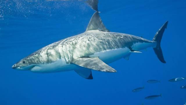 Broj morskih pasa kraj koraljnih grebena nikad nije bio manji!