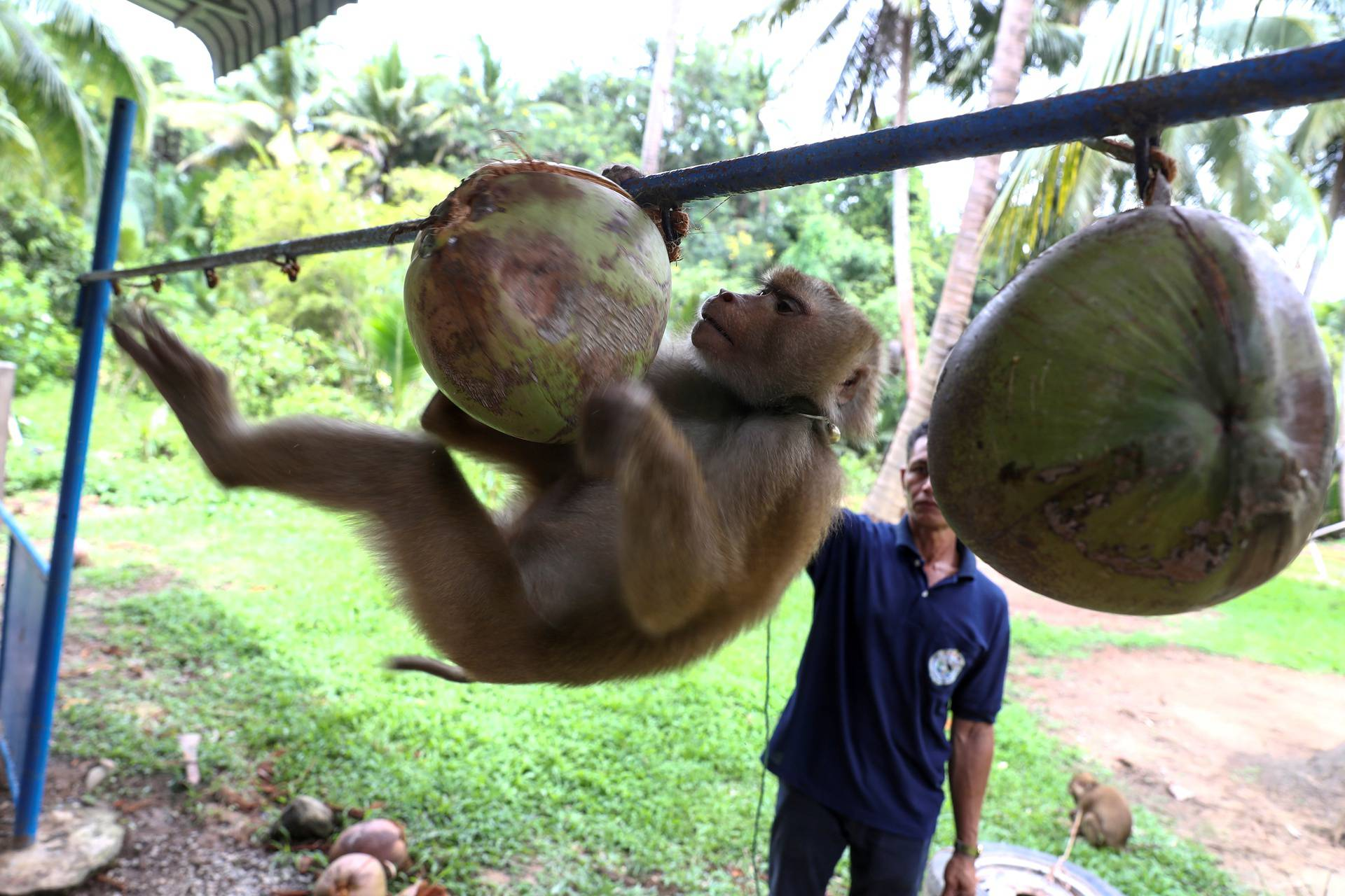Nirun Wongwanich, 52, a monkey trainer, trains a monkey during a training session at a monkey school for coconut harvest in Surat Thani province