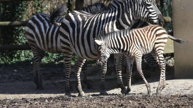 Zebre su u doba korone dobile mlado, a medvjedi još spavaju