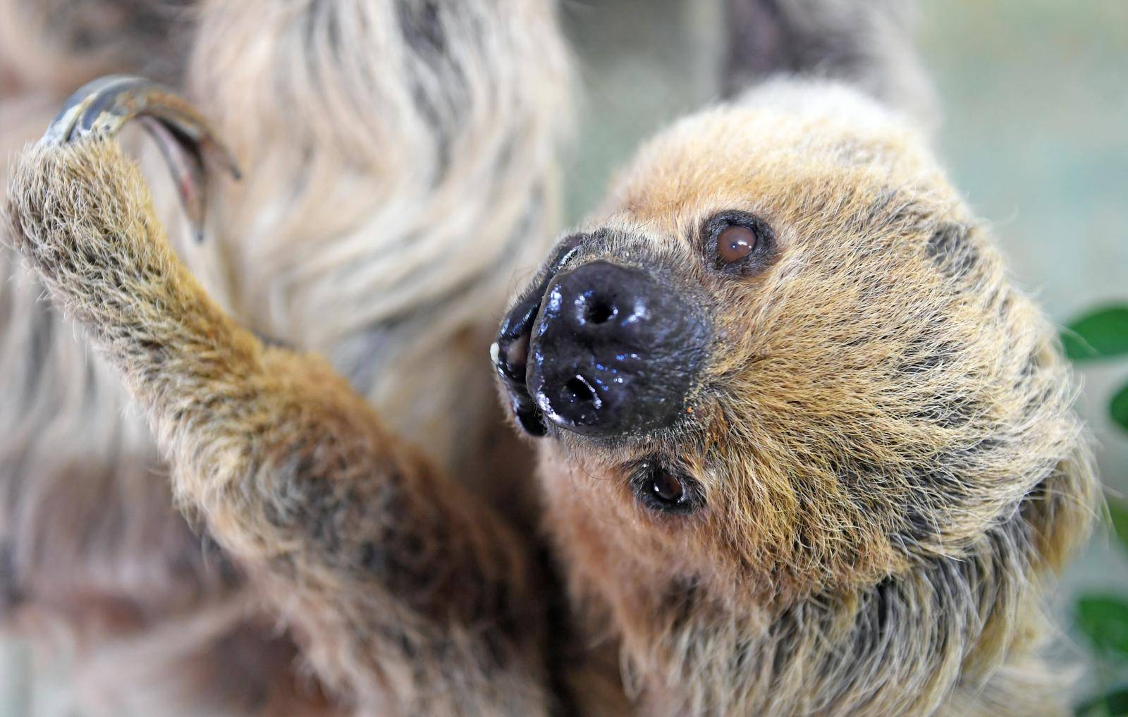 World's oldest sloth turns 50
