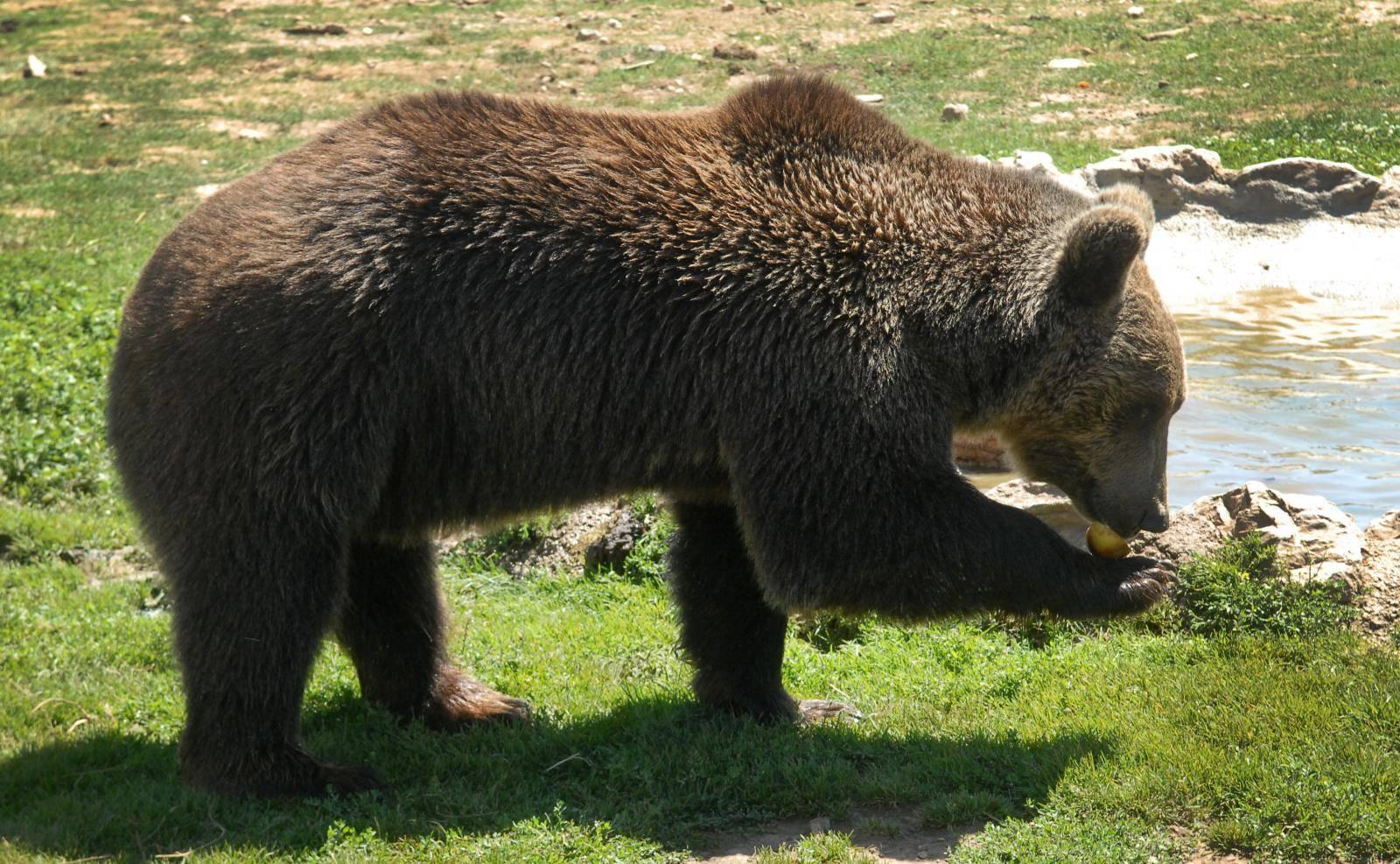 Smrtnost medvjeda koji žive blizu ljudi 7,5 puta je veća nego kod onih koji žive dalje od nas