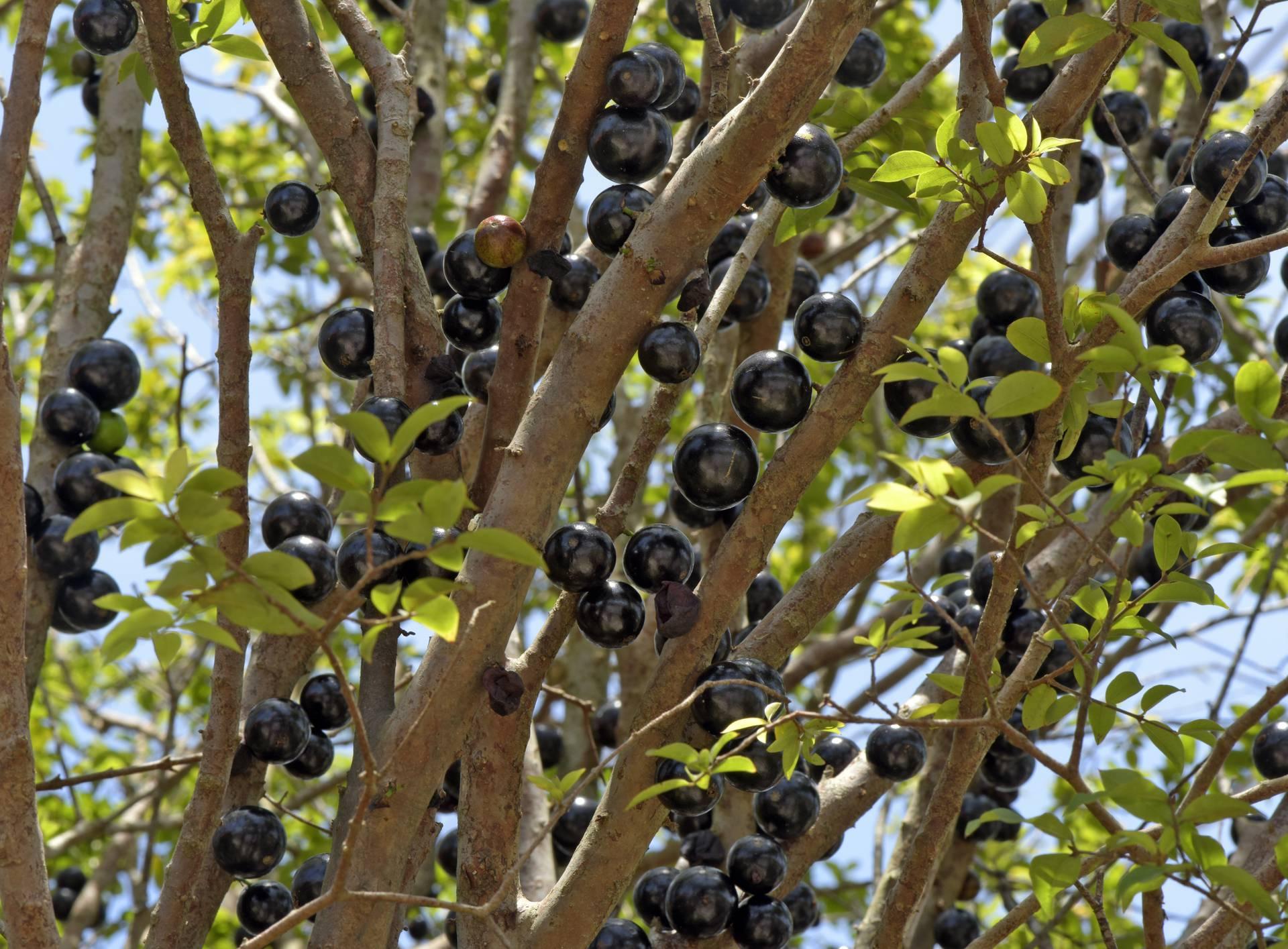 Brazilsko grožđe ne raste na granama, nego na deblu stabla