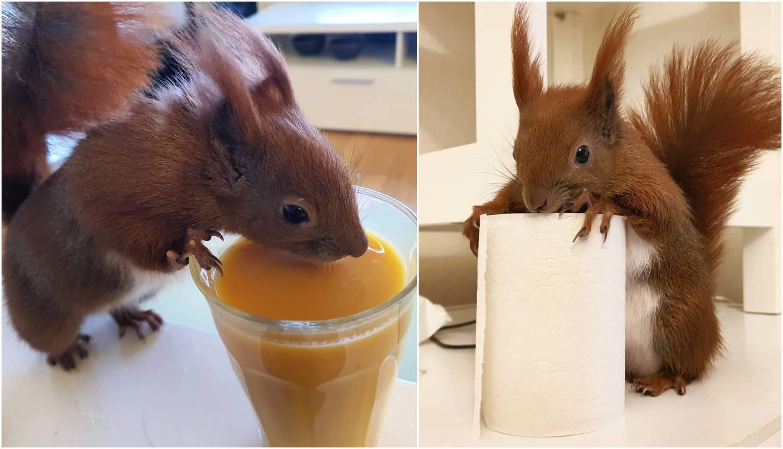 Vjeverica kao kućni ljubimac: TinTin ne napušta vlasnika...