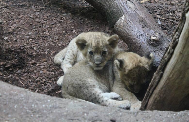 ZOO dobio dva kralja - lavica Nyota okotila laviće blizance