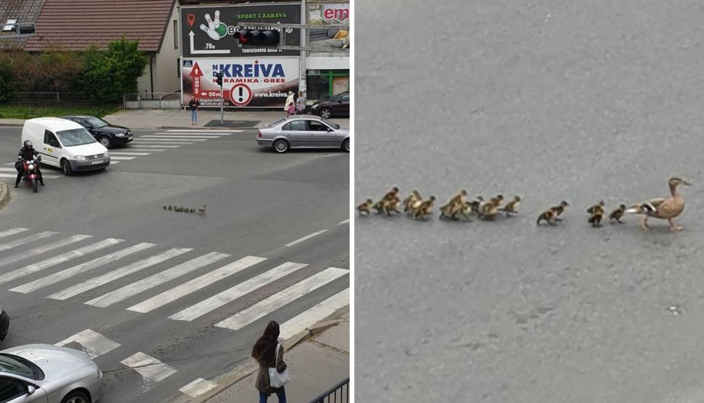 Bez nervoze: Vozači čekali dok je mama patka vodila klince