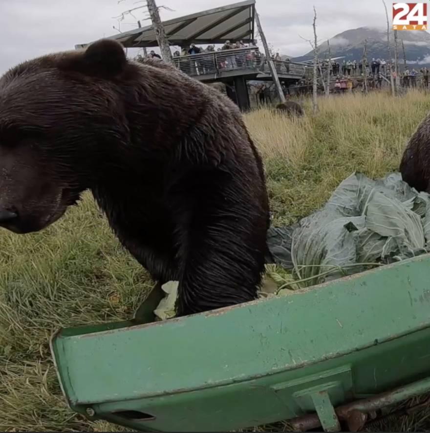 Medvjedi na Aljaski dobili pravu poslasticu: 'Dnevno pojedu 14 kilograma povrća'