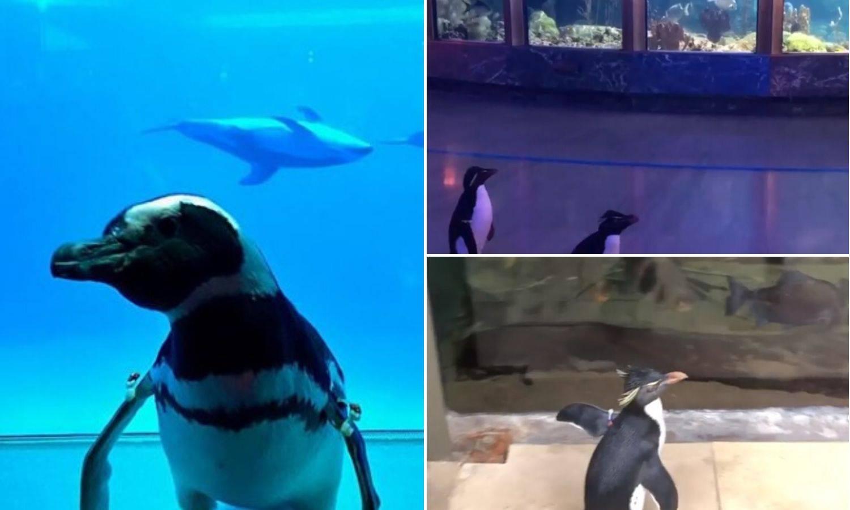 Iskoristili korona virus: Ljudi u izolaciju, a pingvini u avanturu
