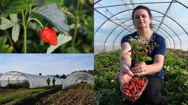 U plastenicima uzgajaju šumske jagode: 'Postale su pravi hit'