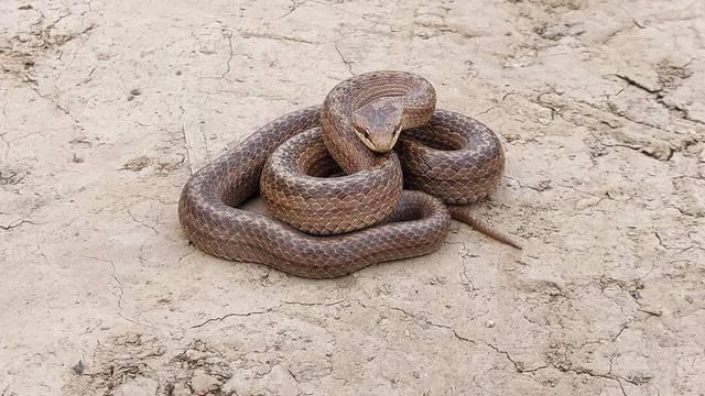 VIDEO Velika zmija prestrašila Slavonce, mislili da je riđovka: 'Počela je proizvoditi zvukove'