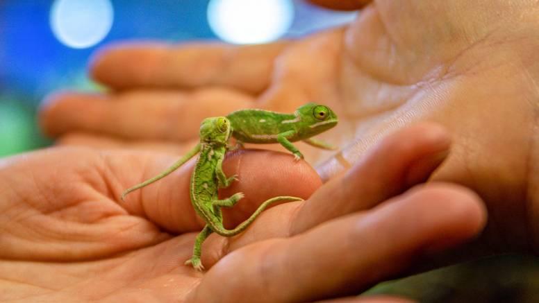 Pula je dobila dvije preslatke prinove, male bebe kameleona