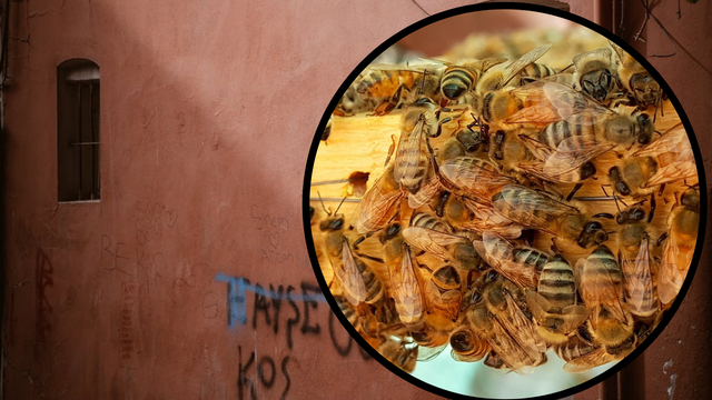 Horor u spavaćoj sobi: Pronašli košnicu od 80.000 pčela u zidu