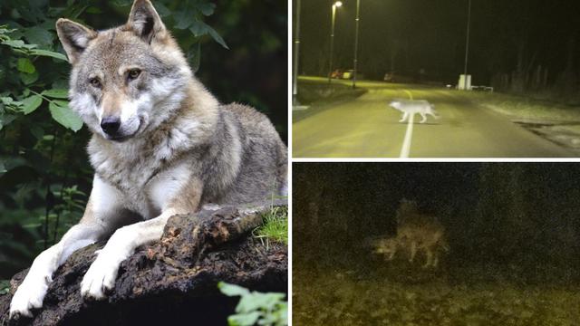 'Vučica još bježi, luta njivama, sad je blizu mađarske granice'