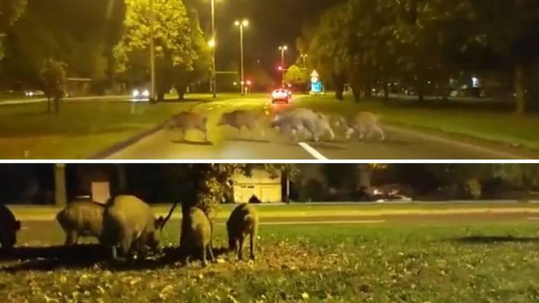 VIDEO Divlje svinje se prošetale Dubravom u Zagrebu: 'Nisam se bojao, no mogu biti opasne...'
