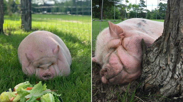 Svinju Petuniju 'izvukli' su iz depresije: 'Ponosni smo na nju'