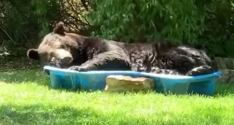Nije rek'o dobar dan: Medo joj se odlučio posunčati u bazenu