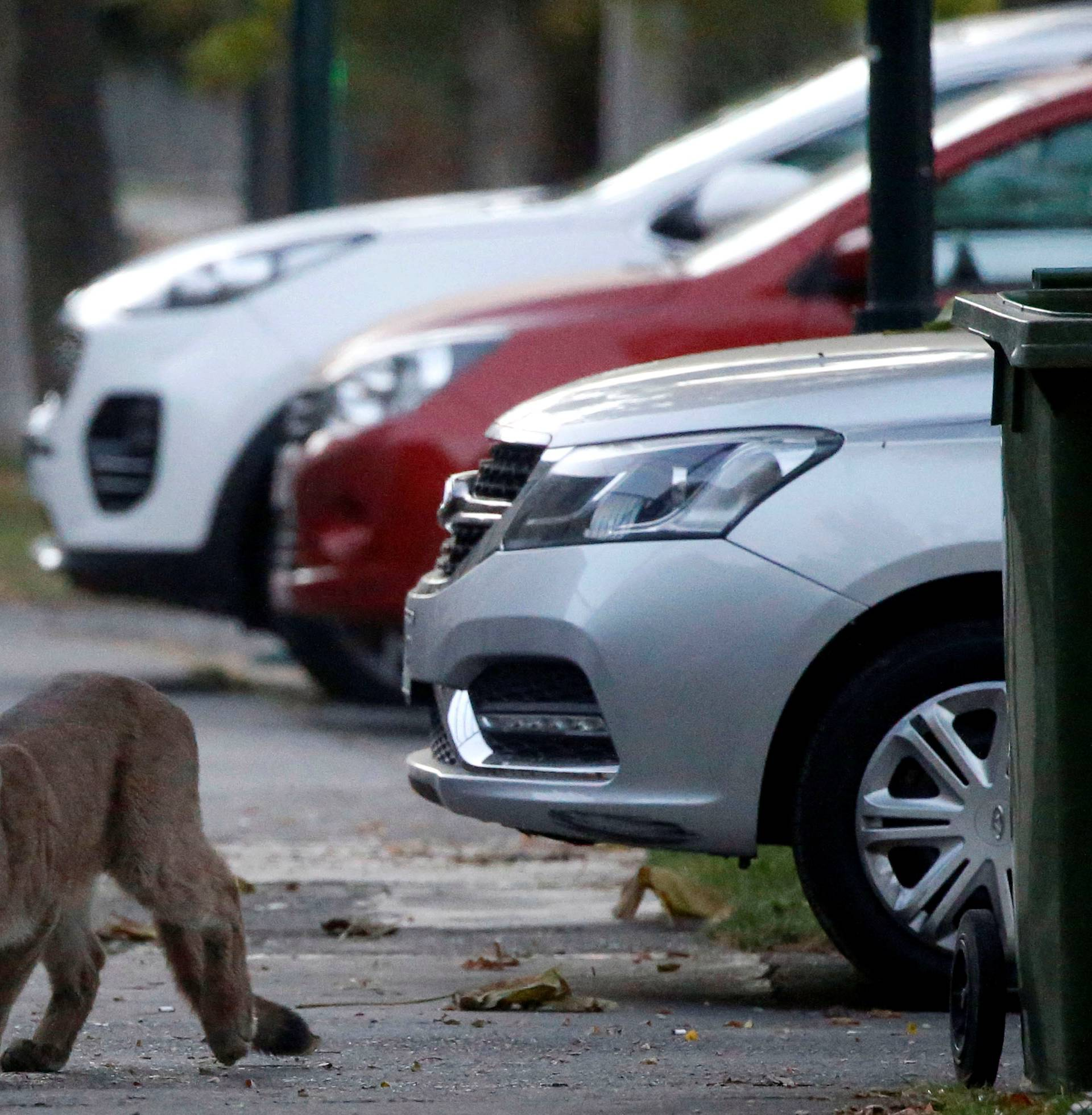 A puma walks along a street during the dawn at a neighborhood before being captured and taken to a zoo, in Santiago