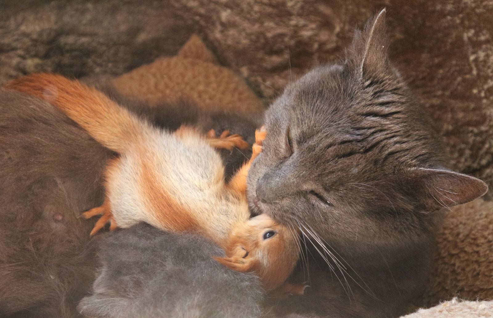 Pusha the cat plays with a baby squirrel in Bakhchisaray