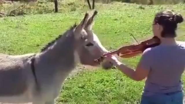 Magarac pjeva