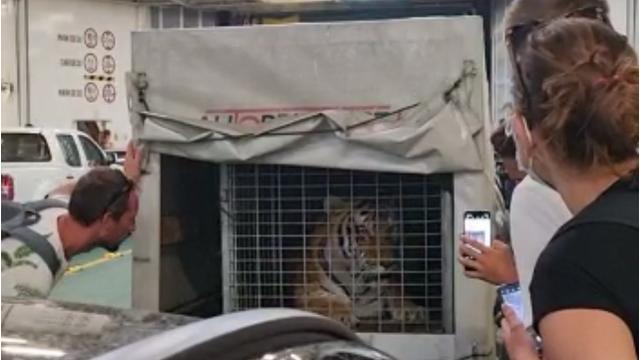 Tužne snimke tigra na trajektu za Hvar: Putnici ga snimaju u tijesnom kavezu, okreće im leđa