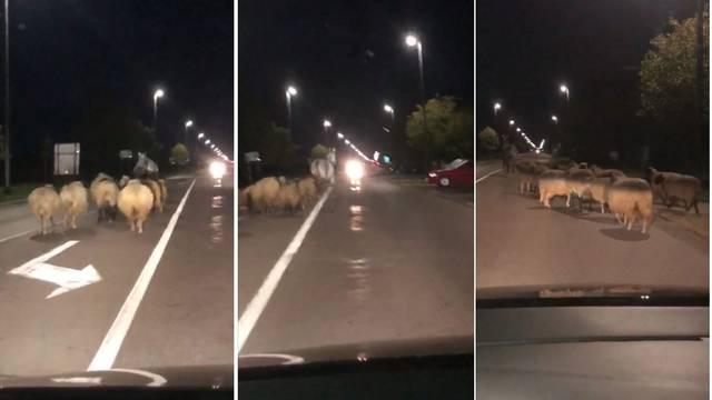 Konj glumio pastira u Županji: Izveo je stado ovaca na cestu i radio kaos, policija ih zaustavila