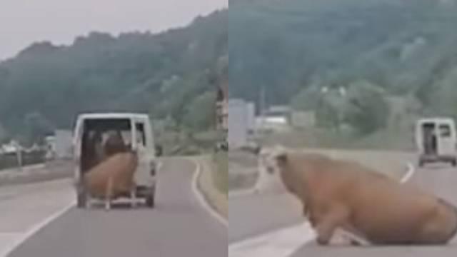 Video: Krava muuu je ispala iz kombija, a on je nastavio voziti