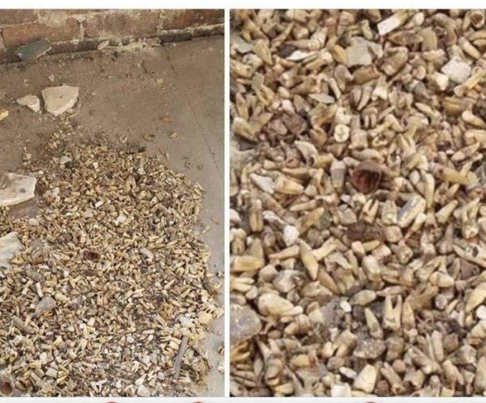 Misterij u staroj zgradi: Rušili zid i u njemu našli tisuću zuba