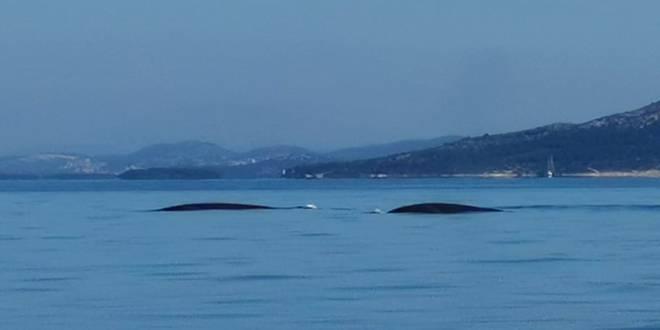 Splićani snimili kitove: 'Nikada ih nisam vidio, divan osjećaj!'