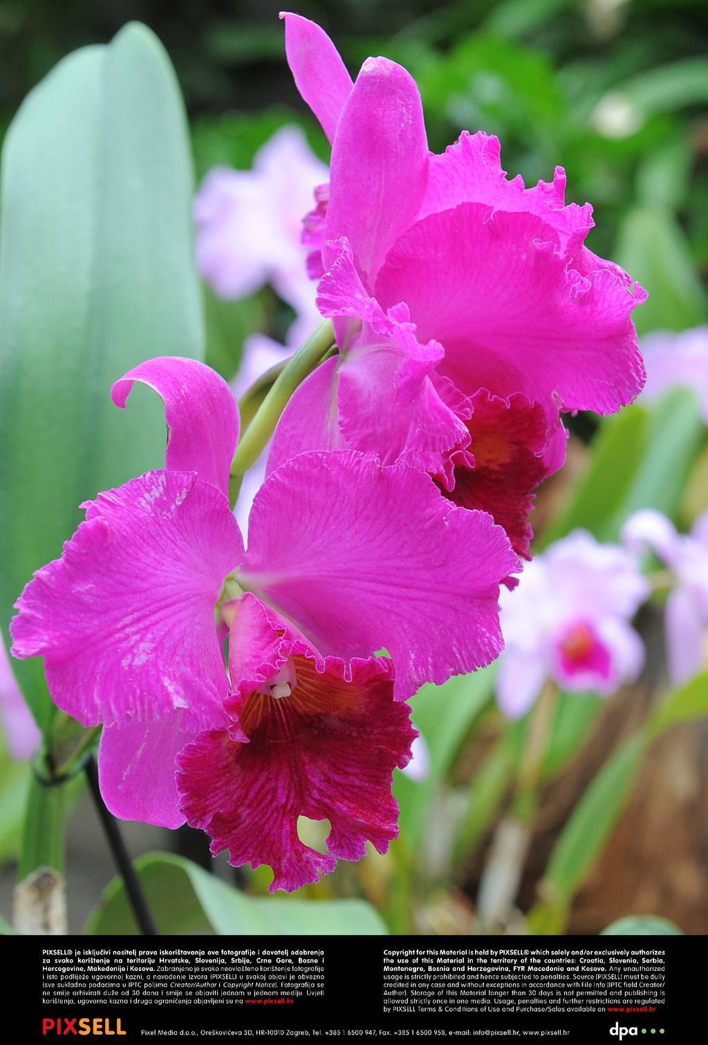 Cvatu sexu u orhideja poza u PORTAL ZA
