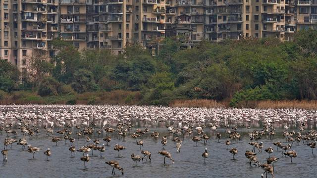 A flock of flamingos is seen in the Talawe wetland against the backdrop of residential buildings in Navi Mumbai