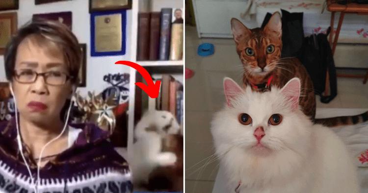 Video-bombale vlasnicu: Mačke se tukle usred javljanja uživo!