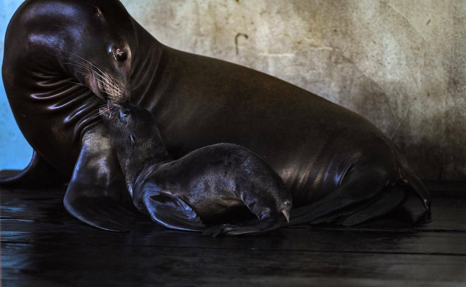 Morska lavica Edith progutala gumenu zmiju i uginula, njeno mladunče nije izdržalo bez nje