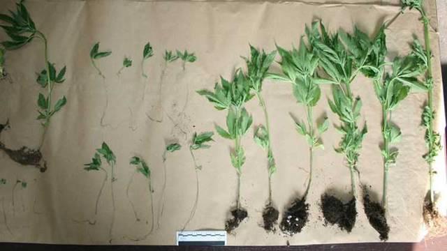 U stanu uzgajala indijsku konoplju, pronašli joj 9 biljaka