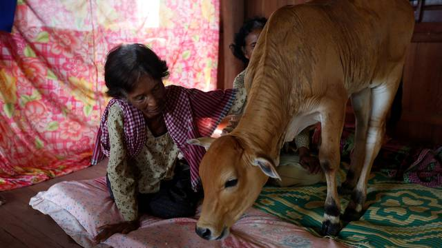 Khim Hang, 74, sits in her bedroom with a cow which she believes is her reborn husband in Kratie province, Cambodia