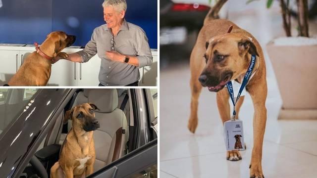 Napušteni pas 'zaposlio se' u autosalonu i oduševljava kupce