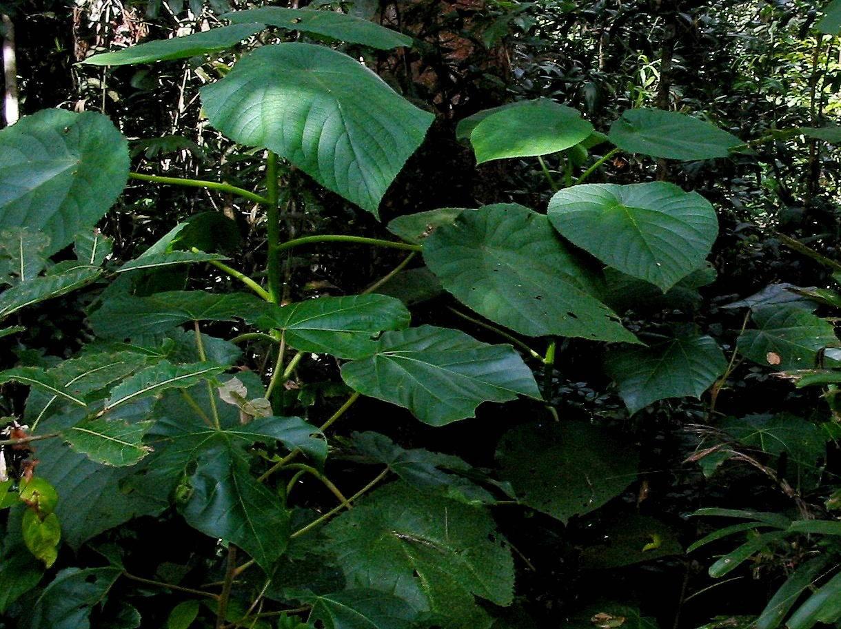 Australska biljka otrovna poput škorpiona - bol traje tjednima