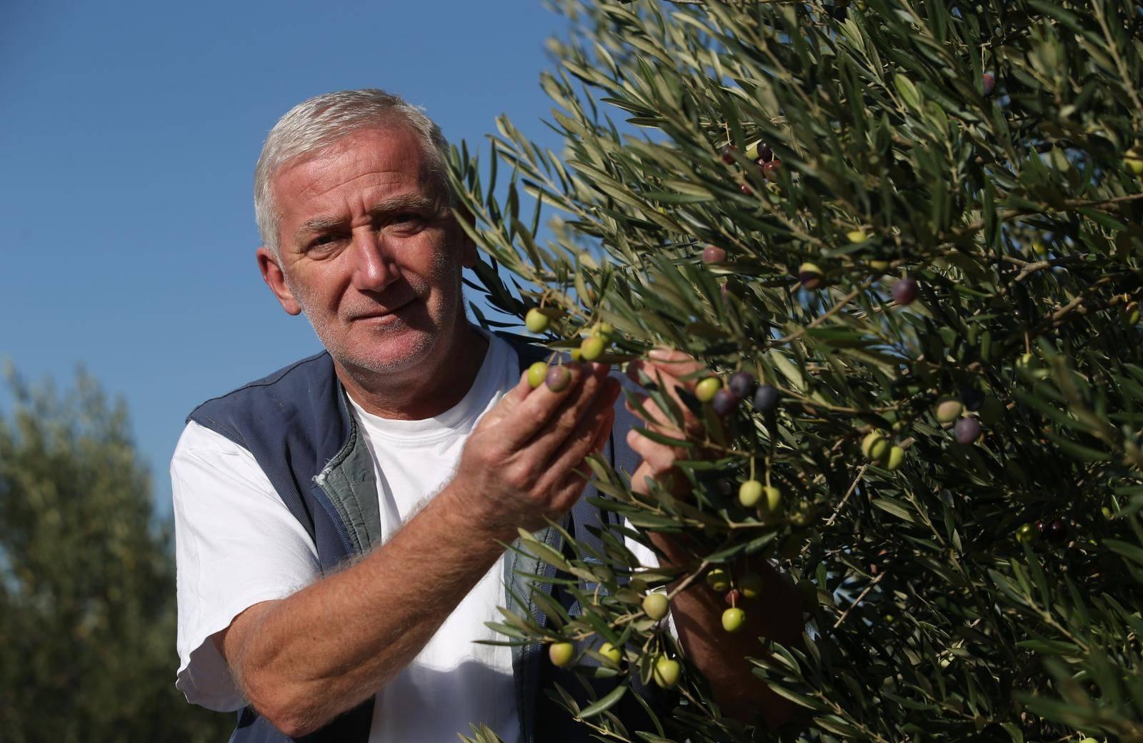 Ako se ulje ne isplati, zaradu će donijeti i plod te list masline