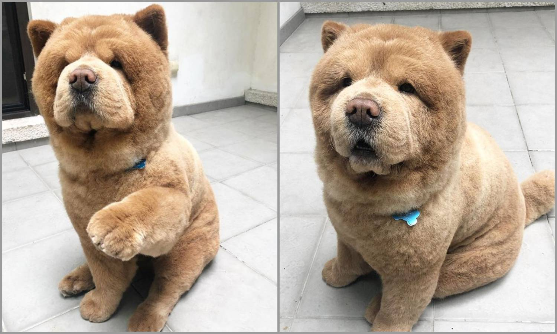 Preslatki Chow Chow psić koji izgleda kao plišani medvjedić