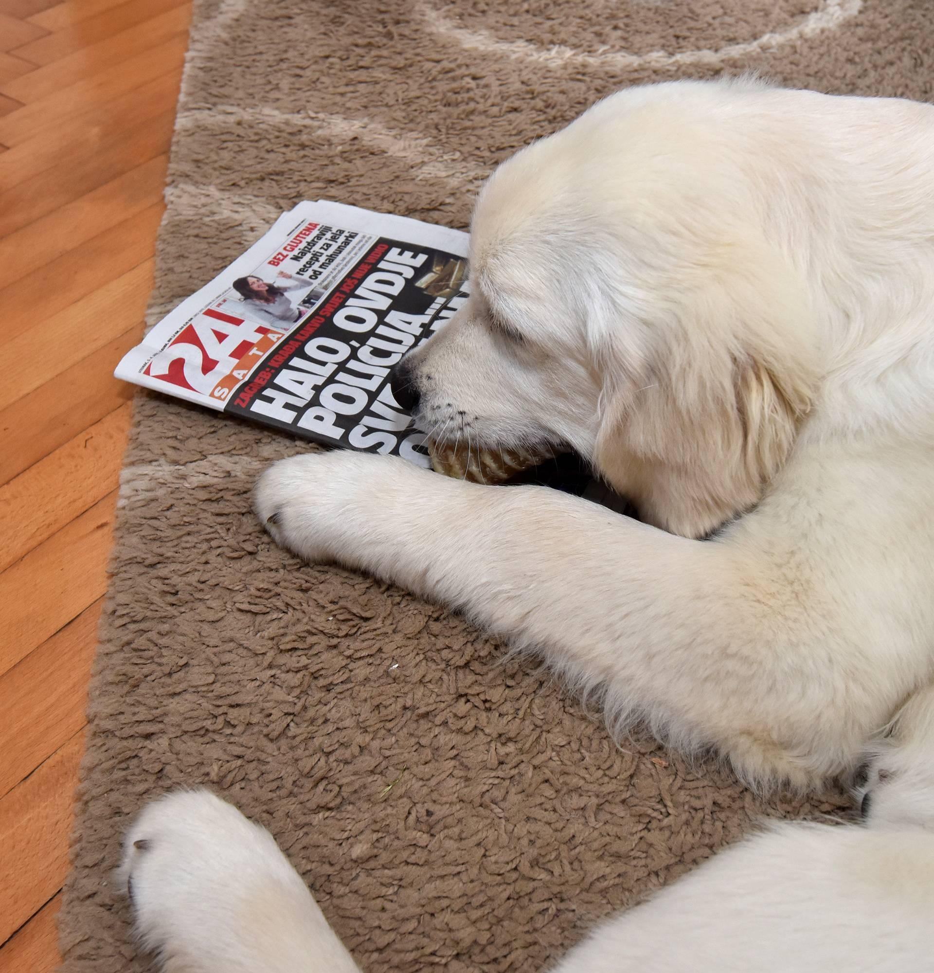 Najdraži mu je 24sata: Štene retrivera obožava gledati TV
