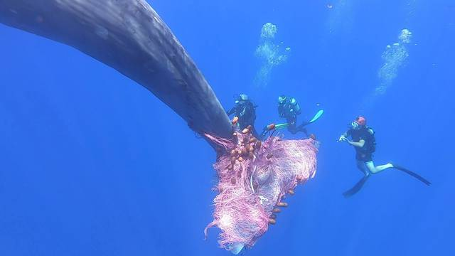 Italian coastguard work to free sperm whale entangled in fishing net