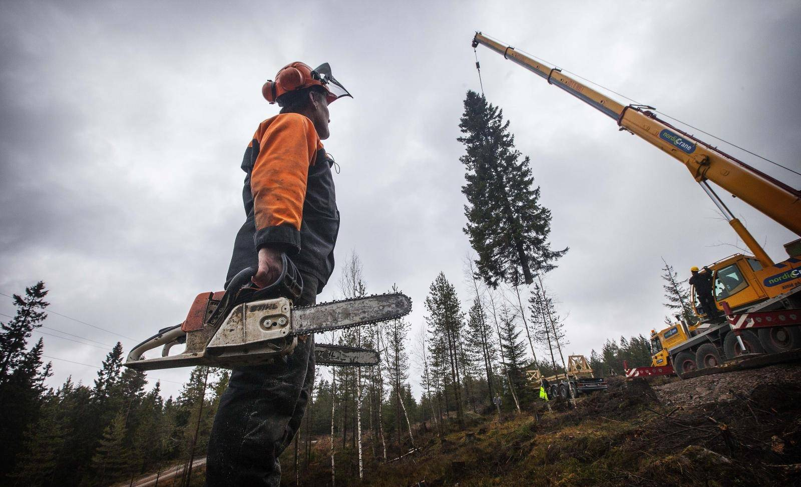 The annual felling of the Trafalgar Square Christmas tree in a forest outside the capital Oslo. The annual felling of the Trafalgar Square Christmas tree in a forest outside the capital Oslo.