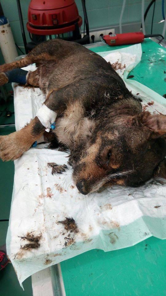 Pas Sagi koji je kod Vugrovca živ zakopan, danas je uginuo...