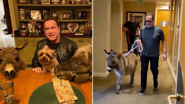 'Terminator' obožava životinje: Na posao vodi magarca i ponija
