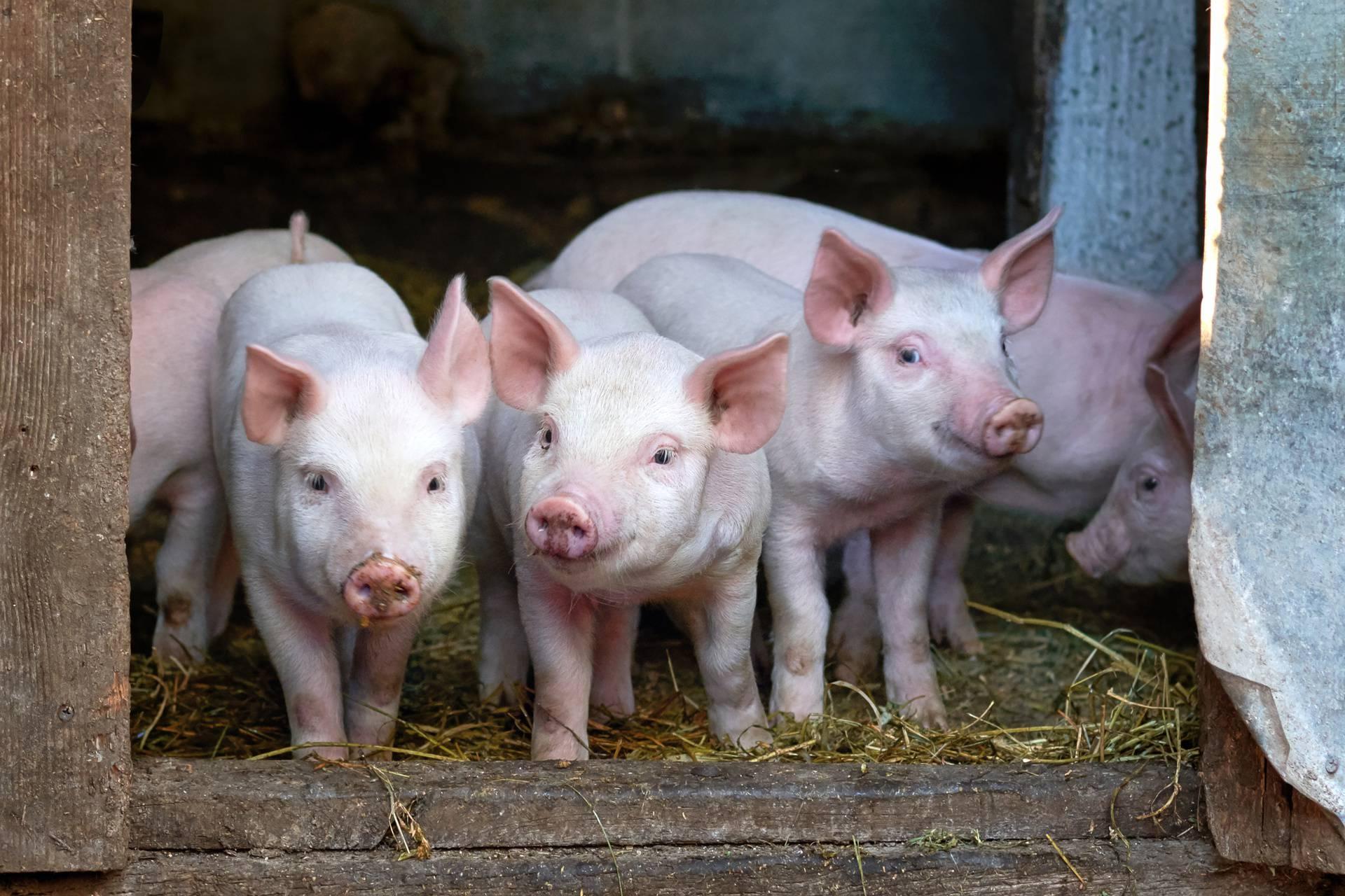 Ostale bez zraka: Uginulo čak 820 svinja, šteta milijun kuna