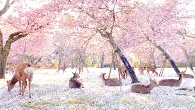 Kao iz bajke: Jeleni uživaju u cvatu trešnji u parku u Japanu