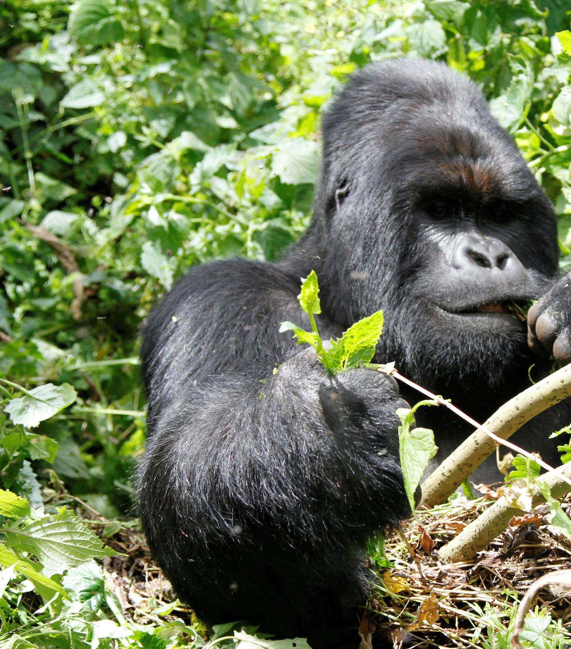 An endangered silverback mountain gorilla from the Nyakamwe-Bihango family feeds within the forest in Virunga national park near Goma