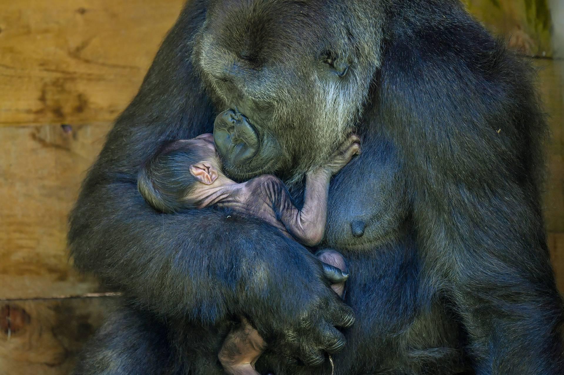 Baby boom rijetkih gorila u Ugandi: To je rijetko, blagoslov!